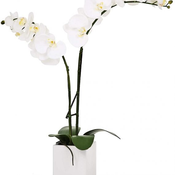 Orchid white potted double stem – TT