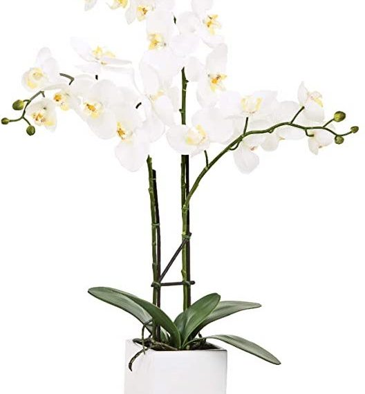 Orchid white potted triple stem – TT